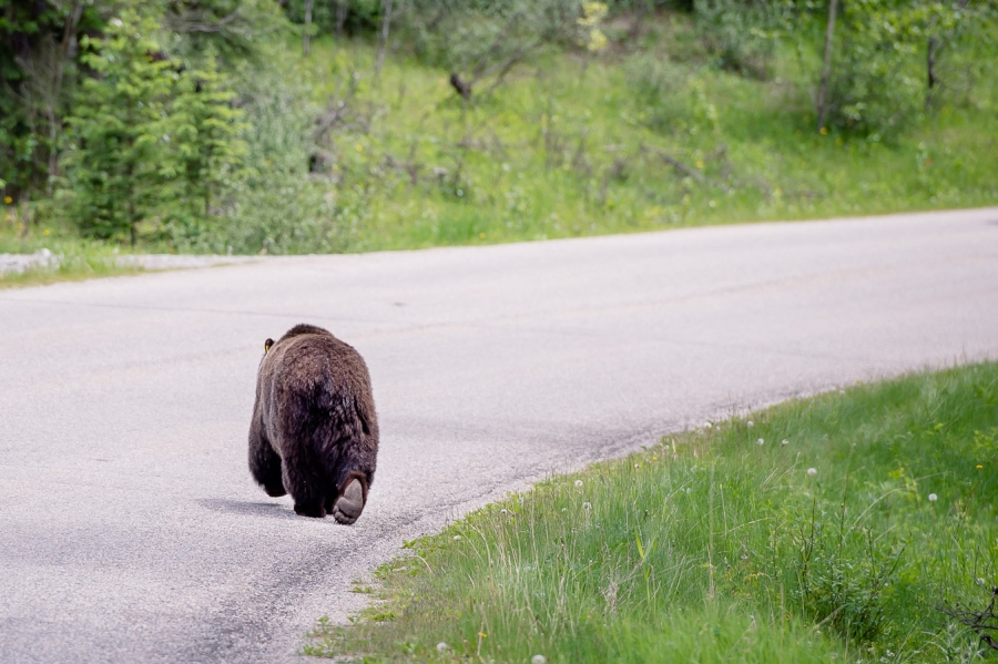 banff_national_park_grizzly_bear