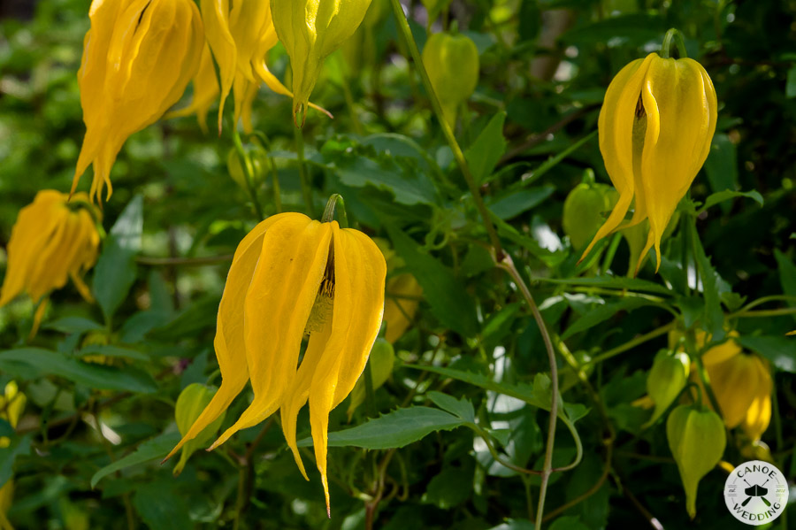 columbine_wildflowers_banff_national_park_alberta