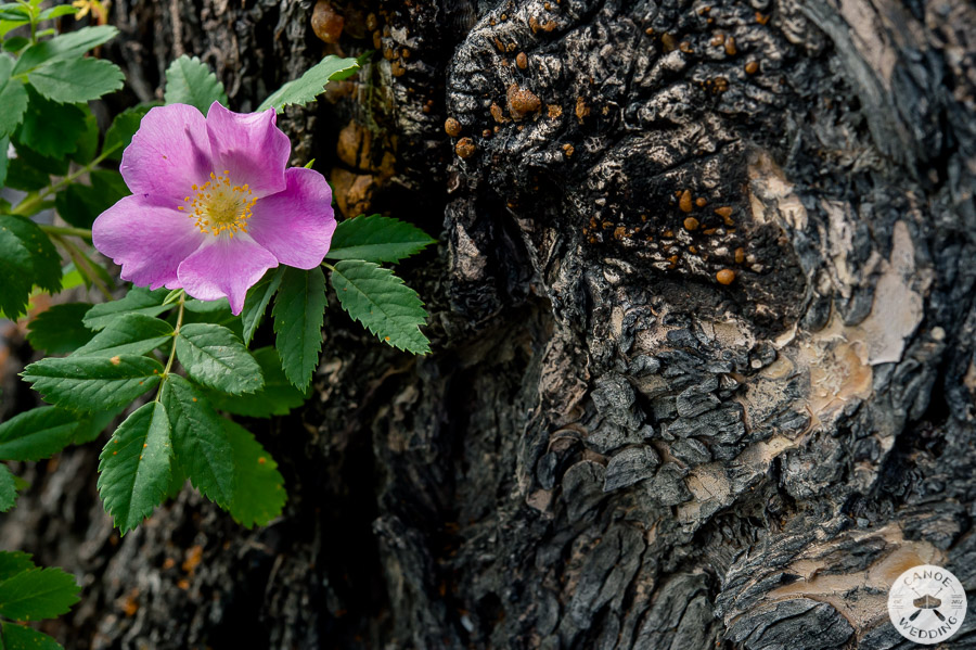 wild_rose_banff_national_park_alberta