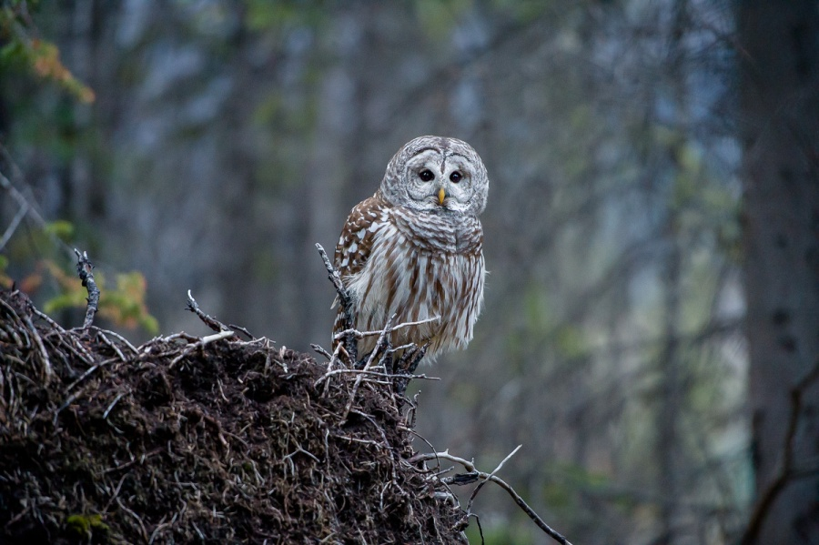 banff_barred_owl