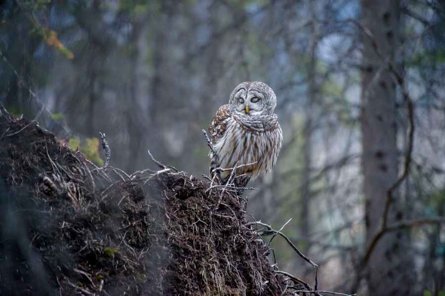 banff_national_park_barred_owl